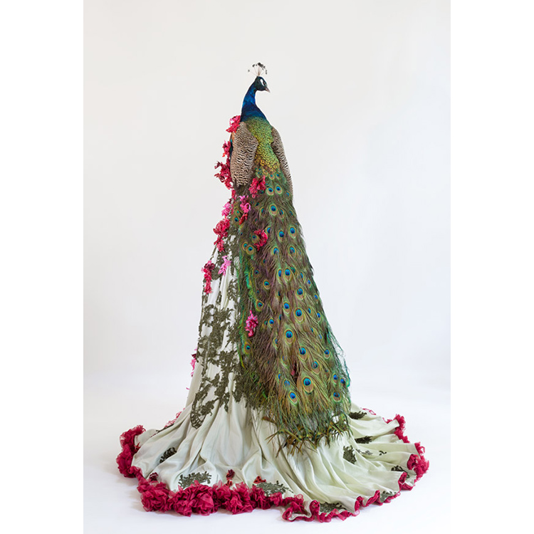 idiots (afke golsteijn, floris bakker), vanity comes to fall, 2014-2018, sculpture, taxidermy peacock, lace, embroidery